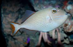 Sargassum triggerfish Xanthichthys ringens.jpg