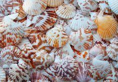 "Tranquebar Scallop Seashells (1-2"") - Pectin Tranquebaricus"