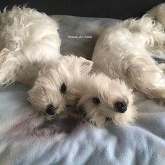 """3,342 Me gusta, 37 comentarios - Emma & Eve❤️ (@emma_the_westie) en Instagram: """"Lazy Sunday morning!❤️"""" Westie Puppies, Westies, Dogs And Puppies, Cute Little Puppies, Little Dogs, Cute Puppies, Lazy Sunday, Sunday Morning, Animals And Pets"""