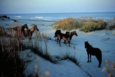 Islands of the Outerbanks, NC- picture of the wild horses on the beach