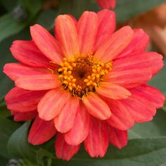 Profusion Double Deep Salmon Zinnia A refreshing, salmon color double flowers all summer long. Like its close cousin, 'Double Hot Cherry', 'Double Deep Salmon' is disease-resistant & in almost constant bloom. 'Double Deep Salmon' is also an All-America Selections award winner.  Name: Zinnia Profusion 'Double Deep Salmon' Growing conditions: Sun Size: 12-24 inches tall, 10-15 inches wide Plant it with: Marigold Source: Available online from Park Seed 553
