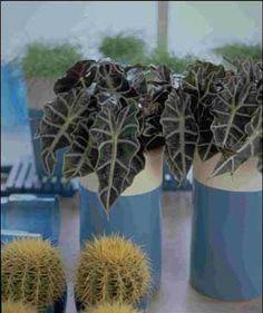 Alocasia - Amazonica - alokazie amazonika Plants, Plant, Planets