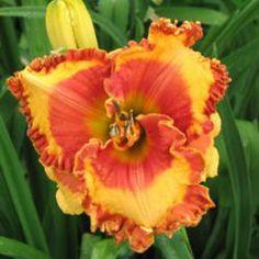 Orange Grove Daylily