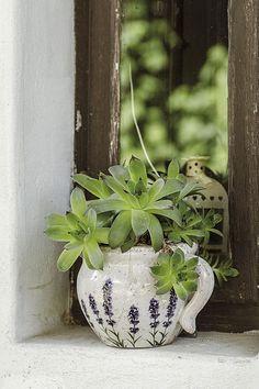 Dužnaté netřesky. Oblíbené skalničky prospívají ve spárách mezi kameny i v hrnku za oknem.