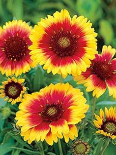 Gaillardia sunset spice flowers queen annes lace nature find this pin and more on garden by bananstraw mightylinksfo