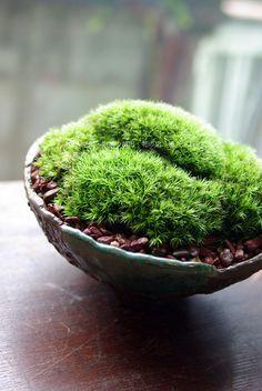 potted moss / moss dish garden   houseplants
