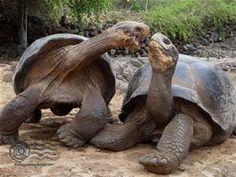 Land Tortoise - Galapagos Islands - photos of turtles - Bing Images