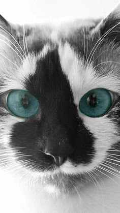 Beautiful, Adorable Kitten. The Markings, the Eyes, Remarkable!