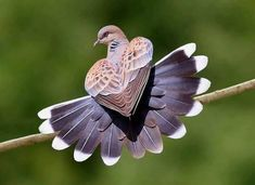 - 🔥 A perched European Turtle Dove – contemporary nature , art , selfie , pictures beautiful , landscapes Beautiful Creatures, Animals Beautiful, Funny Bird, Baby Animals, Cute Animals, Parus Major, Turtle Dove, Most Beautiful Birds, Bird Pictures