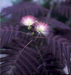 Purple-leaf Mimosa Tree (Albizia julibrissin 'Summer Chocolate')