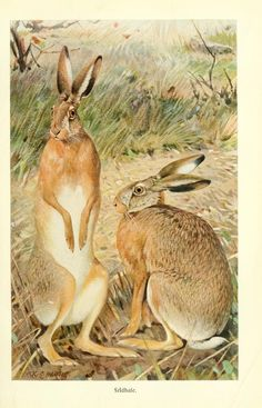 Hare - from Brehms Tierleben (Brehm's Animal Life) - Vol. 11 - 1911.
