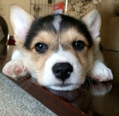 Don't Be Sad, Look At These Corgi Puppies. Buzzfeed Article