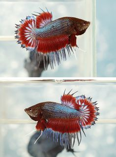 Copper and red metallic crowntail halfmoon plakat