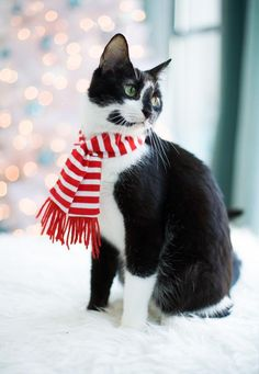 Is your cat ready for the holidays? @Crystal Chou Salus is rocky ready for christmas? I think he needs this cute little scarf to stay warm!!! ^_^