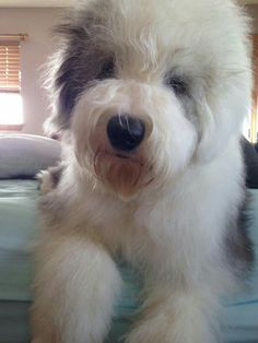 Old English Sheepdog...what a lovely big fluff ball...