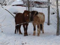 Vidur ja Glampi Tallit, Horses, Animals, Animales, Animaux, Animal, Animais, Horse