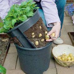 Use dois vasos, um fechado e outro com cortes. Enxer de terra boa, plante as batatas. Quando elas estarem a ponto de colheita, levante o vaso, como vê na foto e retire as batatas e assim vai,