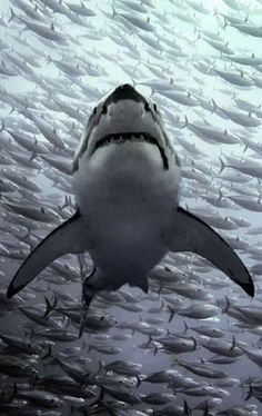 Shark Pictures, Shark Photos, Animal Pictures, Fish Sketch, Wildlife Tattoo, Shark Facts, Species Of Sharks, Great White Shark, Beautiful Ocean