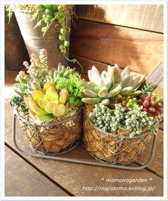 Cutest little dual basket - Succulents
