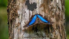 (Archeoprepona sp) - Photo by Benjamin Freeman Moth Species, Butterfly Species, Blue Jay, Beautiful Butterflies, Bird Feeders, Pictures, Animals, Wings, Butterflies