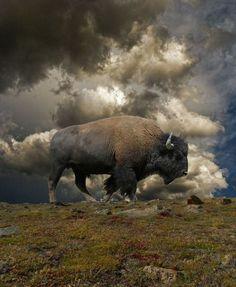 Búfalo + cielo y tierra