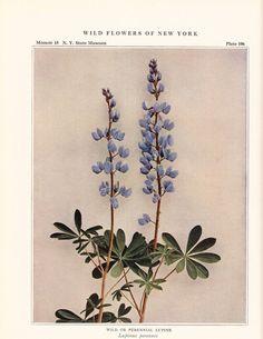 1921 Perennial Lupine Vintage Flower Print 9x12 In.