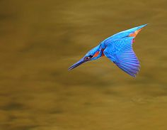 {Common Kingfisher}   Dajan Chiou. Some very well done shots at 500px site by him.