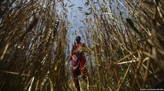 A woman harvests wheat in her field in Kathmandu, Nepal--Navesh Chitrakar