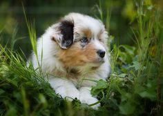 Baby Australian Shepherd, Germany, by friend/photographer Jana Weichelt