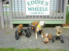 Proud Mama Dachshund Poses With Her Puppies - Funny pictures and memes of dogs doing and implying things. If you thought you couldn't possible love dogs anymore, this might prove you wrong. Disabled Dog, Dog Wheelchair, Living With Dogs, Mans Best Friend, Animal Kingdom, Animal Pictures, Funny Pictures, Random Pictures, Puppy Love