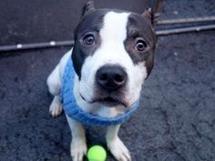 Lovables: URGENT - Manhattan Center    MONTY - A0995264   *** SAFER: AVERAGE HOME ***   MALE, WHITE / BLACK, PIT BULL MIX, 2 yrs, 1 mo  OWNER SUR - AVAILABLE, NO HOLD  Reason NO TIME   Intake condition NONE Intake Date 03/30/2014, From NY 10035, DueOut Date 04/02/2014  https://www.facebook.com/photo.php?fbid=781095945236620&set=a.617938651552351.1073741868.152876678058553&type=3&permPage=1 ++++++VERY THIN+++++