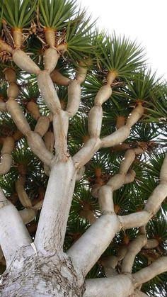 Dragon Blood Tree, Dragon Tree, Garden Trees, Trees To Plant, Jardim Natural, Maple Tree Seeds, Weird Trees, Indoor Bonsai Tree, Fast Growing Trees