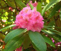 Rhododendron 'Kristiina'. Annilinröda blommor, busken växer över 2 m hög.
