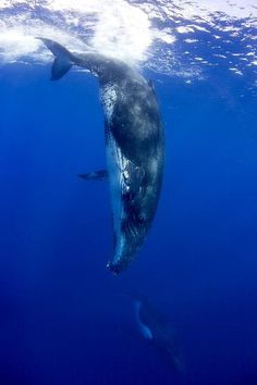 Humpback Whale.                                                                                                                                                                                 More