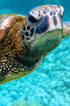 Your big tortoise is a source of pleasure to you. You bought the turtle so you can have more fun with family members and friends. Turtle Love, Wale, Underwater Life, Ocean Creatures, Reptiles And Amphibians, Tortoises, Sea And Ocean, Ocean Beach, Marine Life
