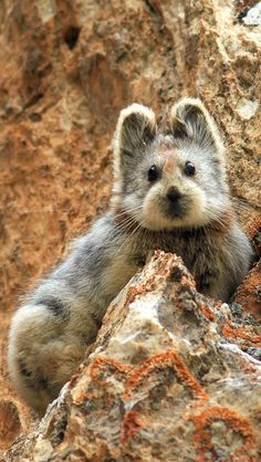 Ili pika (Ochotona iliensis), a type of tiny, mountain-dwelling mammal found in the Tianshan Mountains of northwestern China (By Li WeiDong)