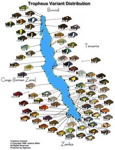Tropheus distribution map by Teale Miller - Cichlid Room Companion