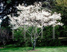 Amelanchier canadensis (Serviceberry, Canada Serviceberry, Downy ...