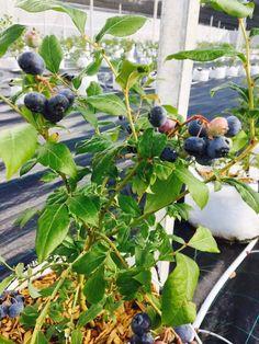 Berry Farm Bratislava Blueberry Farm, Bratislava, Berries, Fruit, Bury, Blackberry, Strawberries