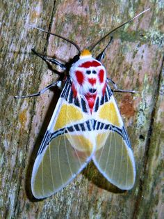 I ❤ beautiful moths . Idalus herois, Tiger moth of Belieze. Cool Insects, Flying Insects, Bugs And Insects, Beautiful Creatures, Animals Beautiful, Cute Animals, Beautiful Bugs, Beautiful Butterflies, Tiger Moth