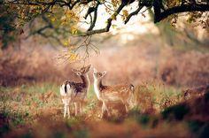 Прогулка молодых оленей.