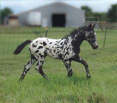appaloosa colt | Flickr - Photo Sharing!