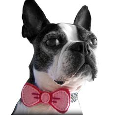 A girly bow tie for this boston terrier