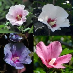 Hibiscus syriacus, Althaea, Rose of Sharon, Mallow Ketmie, Hardy, seeds semillas
