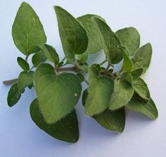 oregano by mohlo být anti-hyperglykemické činidlo pro dlouhodobou kontrolu… Herb Guide, Oregano Oil Benefits, Types Of Christmas Trees, Types Of Herbs, Healthy Herbs, Medicinal Herbs, Korn, Fresh Herbs, Harvest Grill