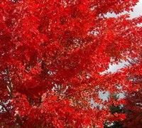 Autumn Flame Maple Picture