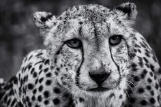 A beautiful image of a cheetah taken from a hide at the Zimanga Private Game Reserve, South Africa  by Astrid Van Zyl