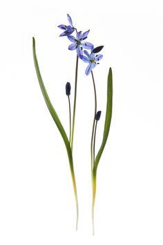 Plant Illustration, Botanical Illustration, Botanical Flowers, Botanical Prints, Love Flowers, Wild Flowers, Wildflower Drawing, Historia Natural, Blue Garden