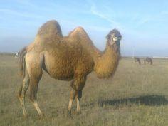 Двугорбый верблюд.