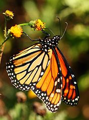 The Monarch butterflies are about to leave Pacific Grove - if they stop off in Sacramento on way north, perhaps they appreciate a nibble on their favorite food, Milkweed, which is growing in my back yard!